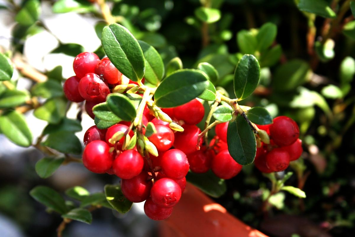 red bilberry 3